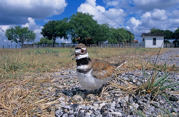 Killdeer, Charadrius vociferus,adult on nest with eggs, Welder Wildlife Refuge, Sinton, Texas, USA