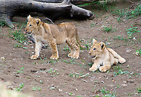 African Lion cubs at play, South Luangwa Park, Zambia