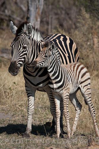 Plains zebra (formerly Equus burchellii, now Equus quagga) adult and foal, Okavango Delta, Botswana, Africa.