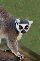 654000003 a ringtailed lemur lemur catta explores its enclosure at a wildlife rescue facility - animal is a wildlife rescue  - species is native to madagascar and endangered in its native habitat