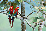 Green-winged macaws, Tambopata-Candamo National Reserve, Peru