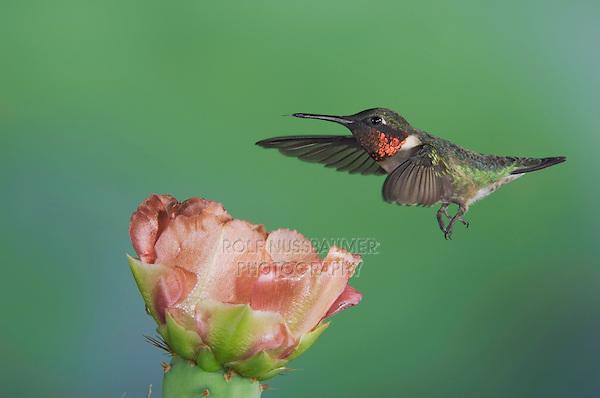 Ruby-throated Hummingbird, Archilochus colubris, male in flight feeding on Texas Prickly Pear Cactus (Opuntia lindheimeri), Uvalde County, Hill Country, Texas, USA