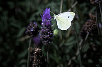 Floating and flitting from one blossom to another, this Cabbage White butterfly appears to be a simple white, but on closer examination, cream colored wings hold hints of pale green with accents of black spots and traces along its wings.
