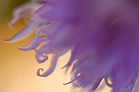 Apulia; Gargano National Park; Gargano Peninsula; Italian Orchid; Italy; Orchis italica