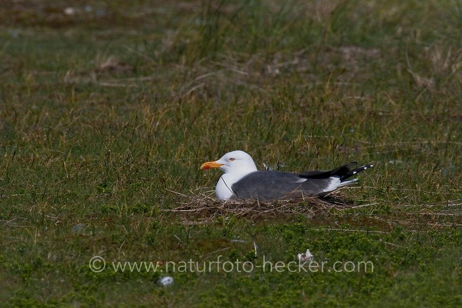 Heringsmöwe, Herings-Möwe, Heringsmöve, Möwe, Larus fuscus, Lesser Black-backed Gull, Goéland brun, brütend, auf Nest sitzend