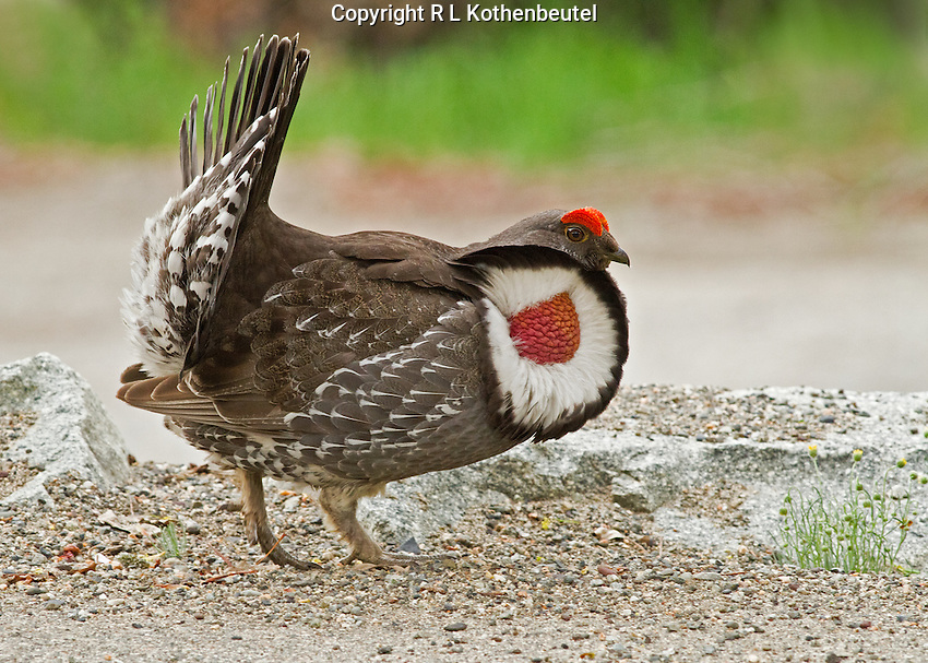 Male dusky grouse strutting with fanned tail and air sacs displayed.<br />