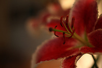 stargazer lily captured with my new dreamy super tak
