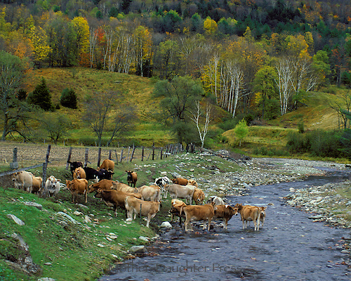 Jersey Cows crossing moutain stream with fall colors New England