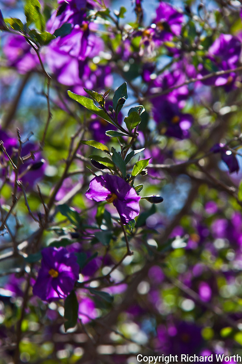 A Royal Robe bush with one of its flowers in focus displays in  vibrant purple,  green and yellow with a hint of  blue sky background.
