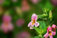 Close up of Monkey flower Mimulus lewisiix cardinalis. Oregon