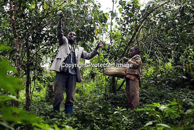 BONGA, ETHIOPIA:  Brahanu Gibo, a coffee farmer, picks wild coffee with his son on their farm on December 4, 2012 outside Bonga, Ethiopia. The Kaffa region is known for its coffee production, wild coffee grown in high altitudes. This region is the original home of the coffee plant, coffee Arabica which grows in the forest of the highlands. The red berries are the main source of income in the area. Children and cattle also drink coffee. (Photo by: Per-Anders Pettersson)