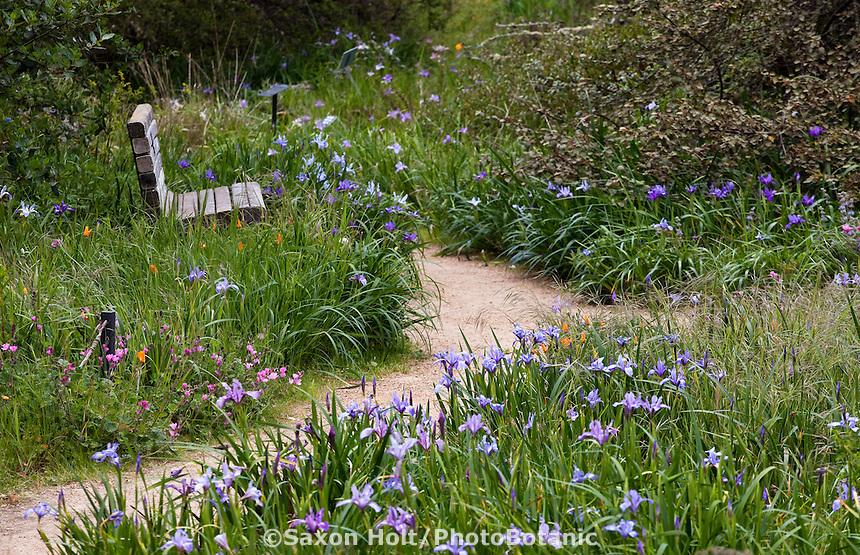 California native iris wildflowers, Iris douglasii, along meadow path through Menzies native plant garden, San Francisco Botanical Garden