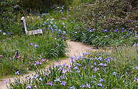 California native iris wildflowers, Iris douglasii, along meadow path through Menzies native plant garden, San Francisco Botanical Garden
