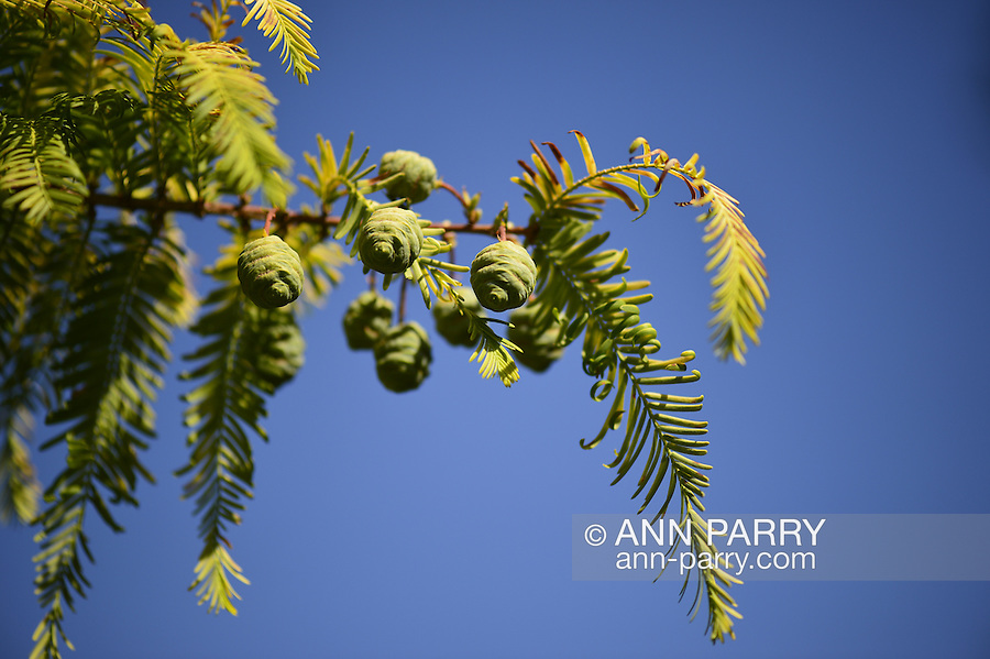 Garden City, New York, U.S. - August 29, 2014 - Adelphi University evergreen tree branch closeup with needles and cones, outdoors in summer