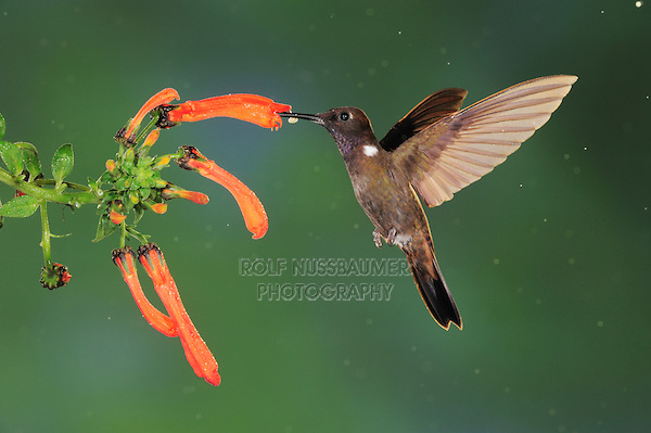 Brown Inca (Coeligena wilsoni), adult feeding from flower,Mindo, Ecuador, Andes, South America
