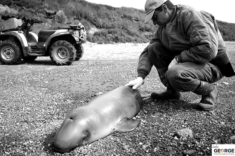 A fisherman finds a baby Beluga whale still breathing on the Nushagak shore.