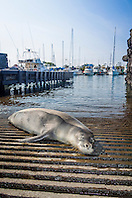 Hawaiian monk seal, Monachus schauinslandi, basking at boat ramp, young male, critically endangered species, Honokohau Harbor, Kona Coast, Big Island, Hawaii, USA, Pacific Ocean