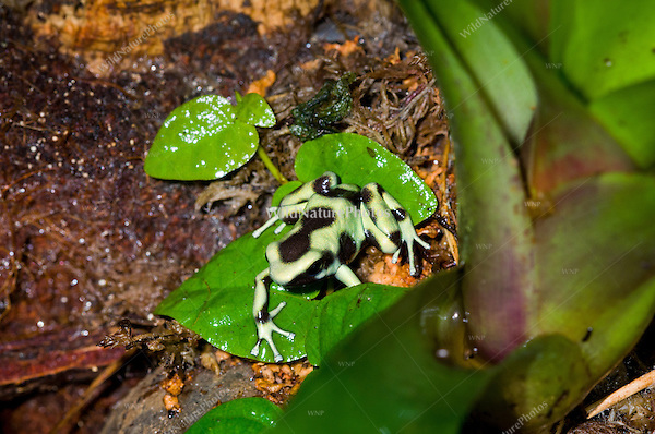The Green and Black Poison Dart Frog (Dendrobates auratus), captive