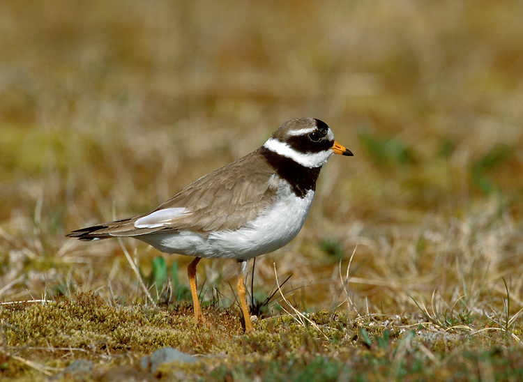 Ringed Plover Charadrius hiaticula L 17-19cm. Small, dumpy coastal wader. Runs at speed before pausing and picking food item from ground. Note white wingbar in flight. Sexes are separable. Adult male in summer has sandy brown upperparts and white underparts with black breast band and collar. Has black and white markings on face, and white throat and nape. Legs are orange-yellow and bill is orange with dark tip. Adult female in summer is similar but black elements of plumage are duller. Winter adult is similar to summer adult but most black elements of plumage are sandy brown, and has pale supercilium. Leg and bill colours are dull. Juvenile is similar to winter adult but breast band is often incomplete. Voice Utters a soft tuu-eep call. Status Locally common. Nests mainly on sandy or shingle beached, sometimes inland. Coastal outside breeding season; numbers boosted by migrants from Europe.
