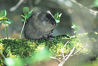 Baby Muskrat, Edwin Forsythe National Wildlife Refuge, New Jersey