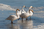 Three trumpeter swans stand on Flat Creek on the National Elk Refuge in Wyoming.