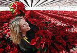 """Foto: VidiPhoto<br /> <br /> EST – Het is lastig selecteren in een enorme zee van rode planten. Eigenaresse Marjanne van den Berg uit Est bij Geldermalsen maakt dinsdag alvast een begin. Eind deze week gaat de eerste lading van 30.000 kerststerren naar Duitsland. Daar is op dit moment de vraag zo groot dat Nederlandse kwekers moeten bijspringen. Bij de Oosterburen begint het seizoen eerder dan in Nederland. """"Wij vullen op dit moment het gat in de Duitse markt"""", vertelt Marjanne. Bijna een half miljoen poinsettia's rollen dit jaar bij Van den Berg over de band. De zogenoemde mini's zijn vooral voor de Nederlandse markt. Met name de grotere maten gaan de grens over. Kerststerren zijn dit jaar onverminderd populair. De totale productie van de 70 kwekers in Nederland telt 17-18 miljoen stuks en is al jaren stabiel. Duitsland en Engeland zijn onze grootste klanten."""