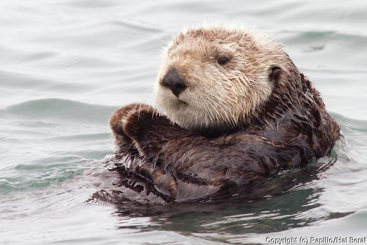 Southern Sea Otter also called California Sea Otter-closeup.(Enydra lutris).Elkhorn Slough near Monterey, California