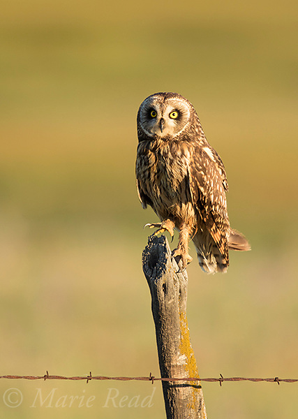 Short-eared Owl (Asio flammeus), adult female flexes her foot showing formidable talons, perched on fencepost, northern Utah, USA