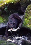 Black bear with salmon at Anon Creek