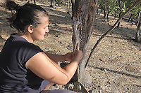 Castelbuono, coltivazione della  manna nel frassineto...Castelbuono: cultivating manna in the wood ash.
