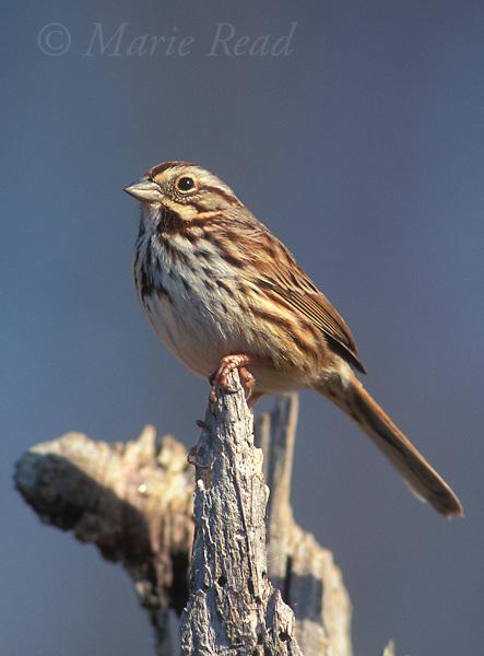 Song Sparrow (Melospiza melodia) adult, Alexandria, Viriginia, USA.<br /> Slide # B164-320
