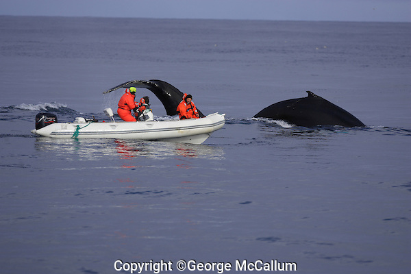 Humpback whales Megaptera novaeangliae Researchers in zodiac taking ID photohraphs and Biopsies. Kvitøya, Arctic ocean