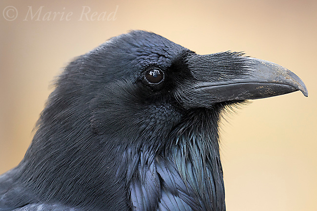 Common Raven (Corvus corax), closeup of head and neck, showing distinctive nasal bristles covering the nostrils, Lamar Valley, Yellowstone National Park, Wyoming, USA