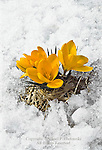 Crocus, Crocus vernus,  in Late Spring Snow