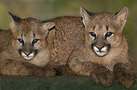 656320010 female captive wildlife rescue mountain lion cubs zuni and kaya felis concolor at the wildlife waystation wildlife recovery and care facility in southern california
