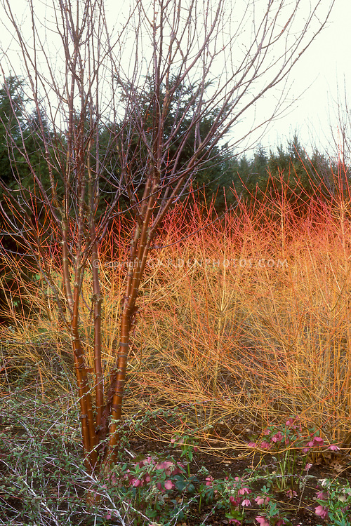 Cornus sanguinea Winter Beauty, Prunus maackii red tree bark, both showing winter garden color, with hellebores in bloom. Angelsey Abbey, UK
