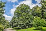Oriental Beech trees at the Arnold Arboretum in the Jamaica Plain neighborhood, Boston, Massachusetts, USA