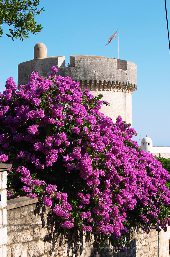 The city wall with tower and tower Dubrovnik, old city. Dalmatian Coast, Croatia, Europe.