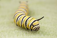 Monarch Butterfly (Danaus Plexippus) - Caterpillar (larva) 4th instar on a Milkweed plant leaf, Ward Pound Ridge Reservation, Cross River, Westchester County, New York