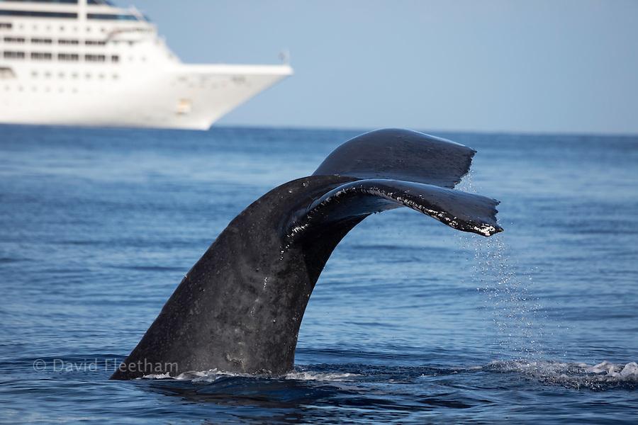 A humpback whale, Megaptera novaeangliae, lifts it's fluke in front of a large cruise ship off the island of Maui, Hawaii.
