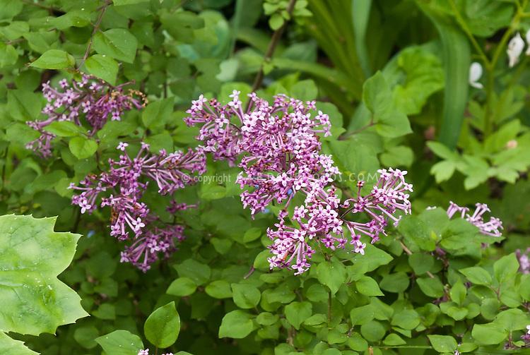 Syringa Bloomerang lilac