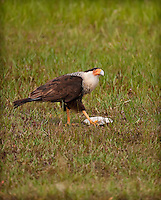 Crested Caracara preparing to feed on a turtle