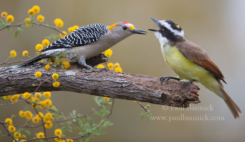 A Golden-fronted Woodpecker confronts a Great Kiskadee