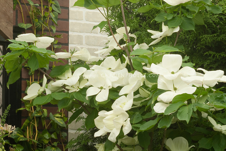 cornus venus kousa x nutallii dogwood plant flower. Black Bedroom Furniture Sets. Home Design Ideas