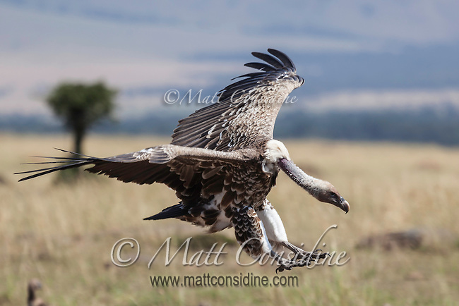 An African white-backed vulture coming in to land with outspread wings and feet extended in front of it, Kenya, Africa (photo by Wildlife Photographer Matt Considine)