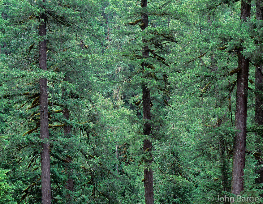 ORCAC_032 - USA, Oregon, Willamette National Forest, Middle Santiam Wilderness, Old-growth forest with large Douglas fir and western hemlock trees.