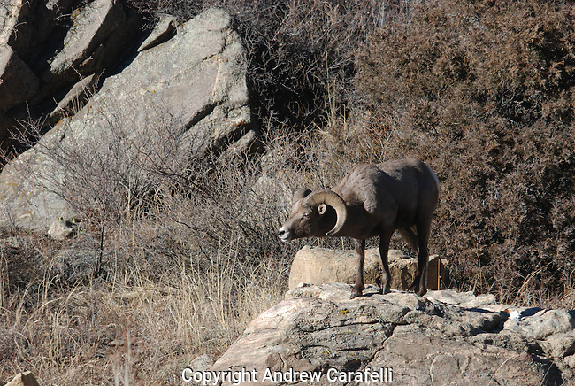 A Big Horn Sheep Ram watches a flock of females below during the rut season in Colorado.