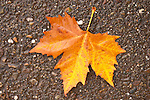 Wet leaves on the concrete in the street, autumn rain...Sycamore
