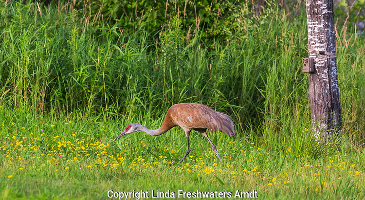 Sandhill crane walking in front of a trail camera in northern Wisconsin.