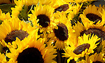 Sunflower bouquets at a farmers market.